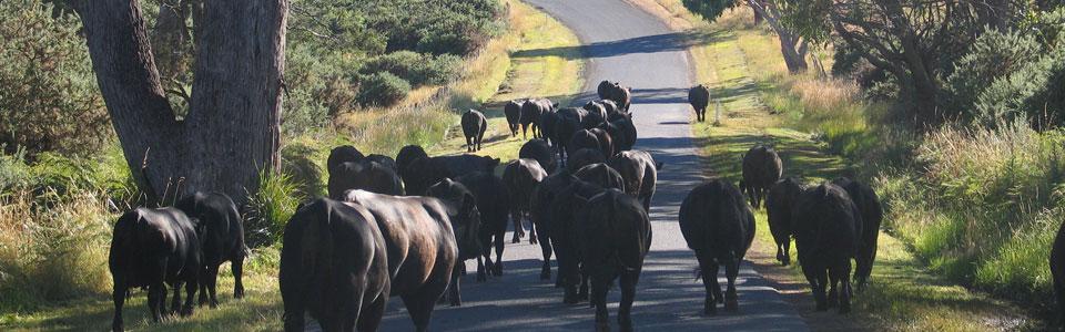 Angus cattle Woodbourn Stud Tasmania