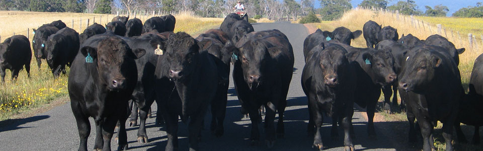 Angus stud bulls at Woodbourn