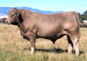 Murray Grey Bull