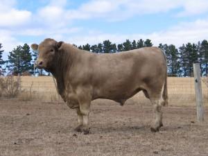 Murray-Grey-bull-2011